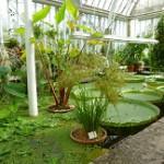 Enorma näckrosblad på denna bild inifrån växthuset.
