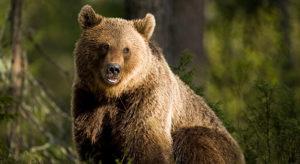 Björn i Härjedalen