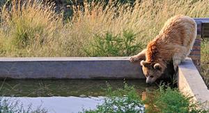 En frisläppt björn undersöker bassängen i reservatet